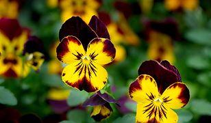 Wiosna na tarasie i balkonie. Jakie rośliny warto zasadzić i jak je pielęgnować?