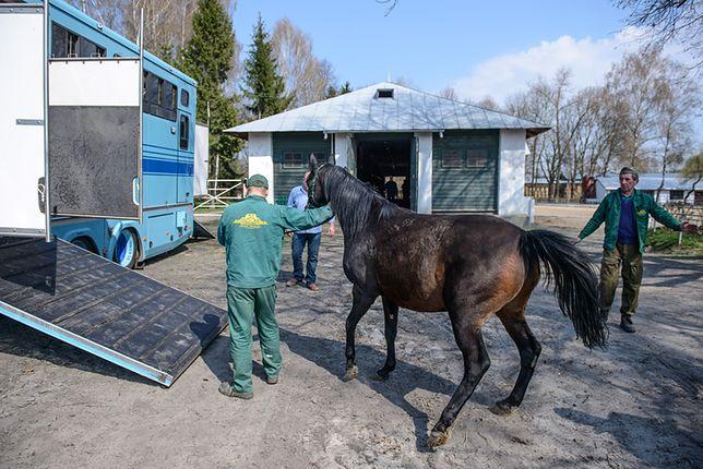 Przygotowania do transportu jednej z klaczy należącej do Shirley Watts ze stadniny w Janowie w kwietniu 2016 r.