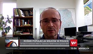 Wilki w Polsce coraz częściej atakują. Jest ich w naszym kraju za dużo?