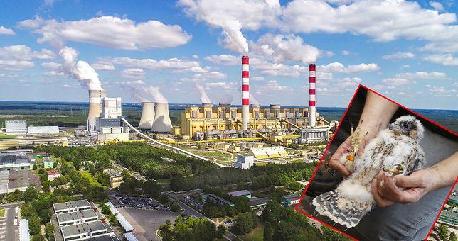 W Elektrowni Bełchatów zadomowiły się sokoły wędrowne.