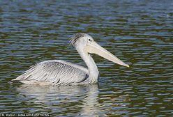 Pytona nie ma, ale jest... pelikan! Egzotyczny gość odwiedził Wilanów