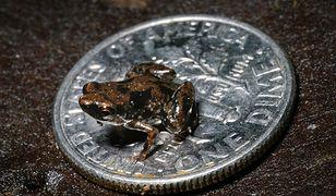 Najmniejsza żaba na świecie, ma zaledwie 7 milimetrów