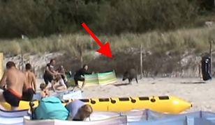 Dzik na plaży w Karwii atakował ludzi