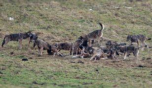 Zdjęcie watahy wilków z Bieszczad wywołało panikę