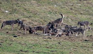 Wataha wilków licząca 23 osobniki dała się sfotografować turyście z Sanoka