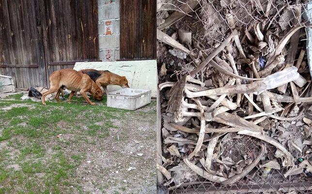 Makabra we wsi Szczodrowo. Sterty kości i wychudzone psy