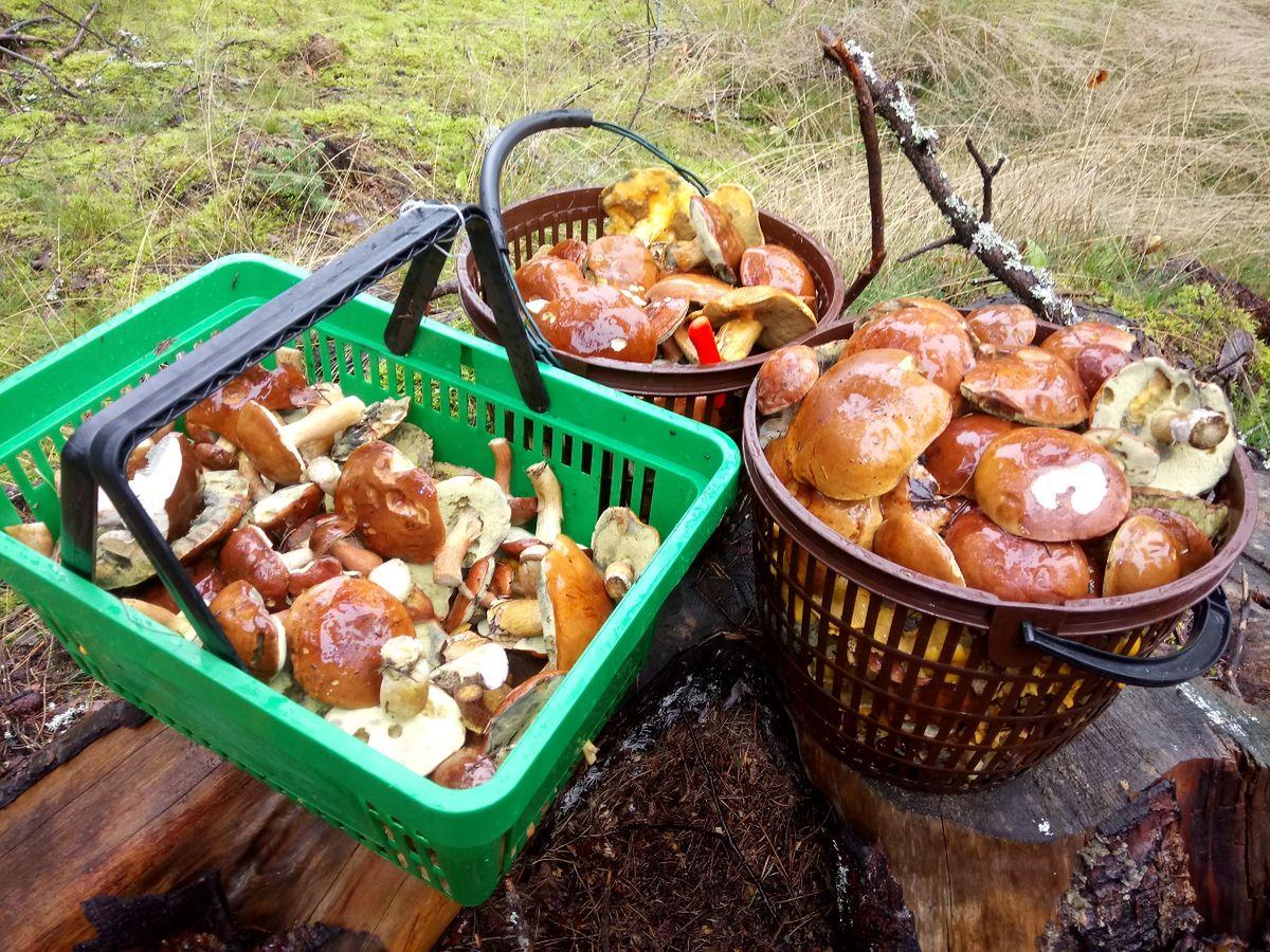Korzystacie z wysypu grzybów w lasach? Uważajcie na mandaty