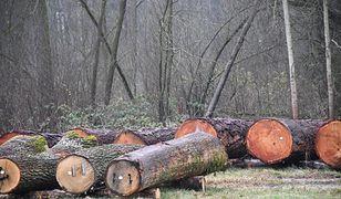 Radom. Najcenniejsze drewno z Lasów Państwowych sprzedane