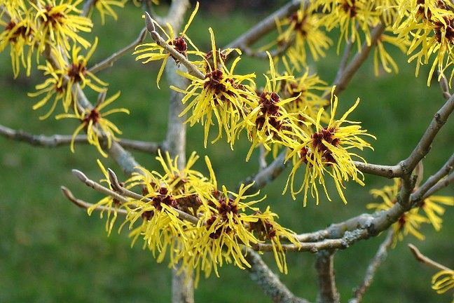 Witch hazel tonic will be useful not only for the treatment of varicose veins, but also for blemishes and bruises.
