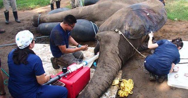 Słoń dwa lata czekał na operację. Pieniądze zebrała lokalna społeczność