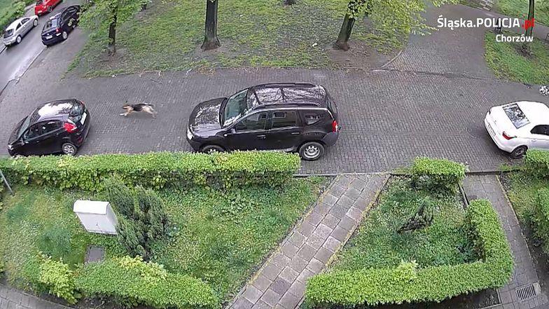 Pies przebijał opony w samochodach.