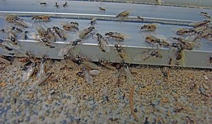 Plaga latających mrówek. Owady są teraz w czasie rójki, odbywają loty godowe.