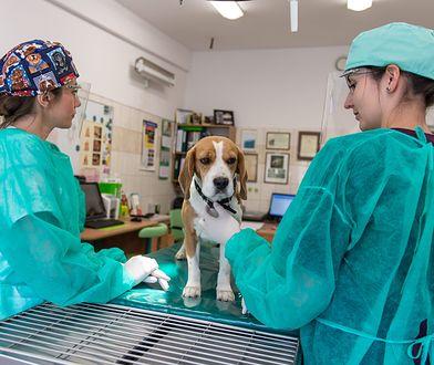 Coraz częściej Polacy nie szczepią psów