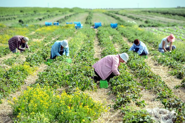 Brexit szkodliwy dla brytyjskiego rolnictwa. Brakuje rąk do pracy