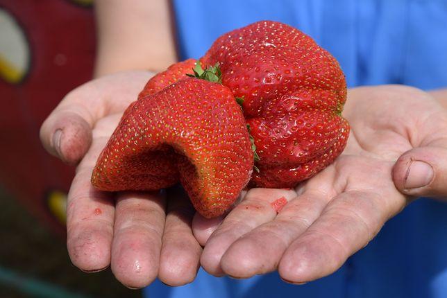 Pani Wioletta wyhodowała gigantyczną truskawkę. To prawdziwy olbrzym