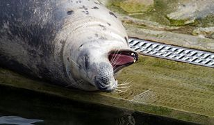 Konflikt w sprawie fok na Bałtyku wybucha na nowo.