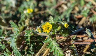 Tribulus terrestris to roślina stosowana w leczeniu niepłodności i zaburzeń seksualnych.