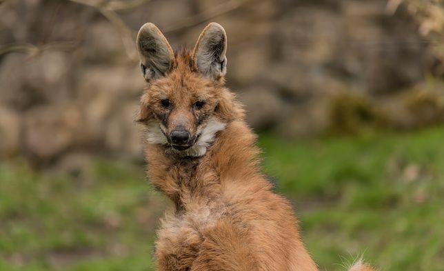 """Pampasowiec grzywiasty, zwany """"czerwonym wilkiem na szczudłach"""""""