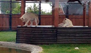 """""""Niewinne lwiątka zginęły na oczach ludzi"""". Zoo wydaje oświadczenie"""