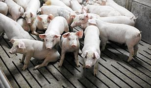 Ruszył proces rolniczki oskarżonej o leczenie świń niedozwolonymi lekami