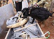 W 2011 roku skonfiskowano rekordową ilość kości słoniowej