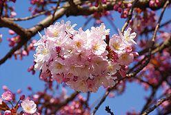 Magnolie i wiśnie już kwitną