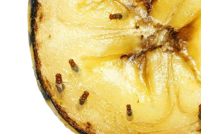 Muszki owocówki nie lubią zapachu octu - wykorzystaj ten specyfik w walce z owadami