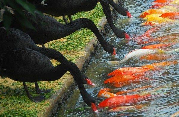 Niezwykły widok. Czarne łabędzie karmią ryby