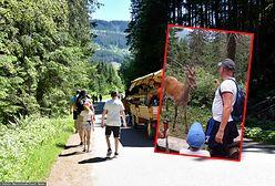 Skandal na drodze do Morskiego Oka. Turyści zaczepiali jelenia. Jest nagranie