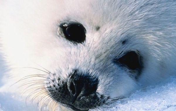 Polowanie na foki