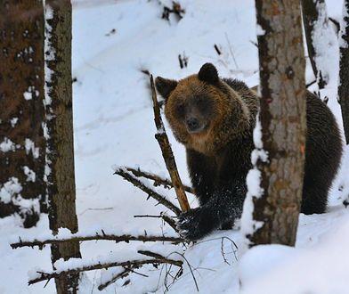 Na Podkarpaciu od początku lat 70. XX w. ponad sześciokrotnie wzrosła liczba niedźwiedzi. Jest ich teraz ok. 200