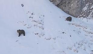 Niedźwiedzie ruszyły w poszukiwaniu jedzenia