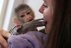 """W Polsce jest coraz więcej hodowli małp. """"Są setki chętnych, chcą przebierać je w pieluchy"""""""