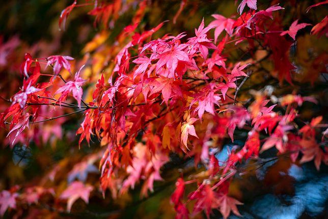 Гордістю будь-якого саду є японський клен