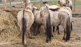Zaniedbane koniki polskie z rezerwatu Karsiborska Kępa mają wrócić po roku do właściciela