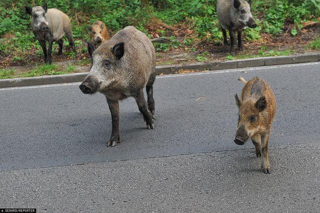 Dziki w województwie pomorskim nie mają lekko. Odstrzał z powodu ASF nabiera na sile.