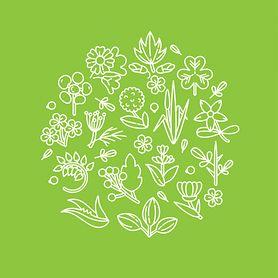Babka lancetowata – występowanie, właściwości zdrowotne, napar, zbiór