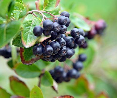 Najpopularniejsze ogrodowe rośliny na nalewki