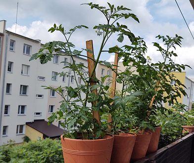 Blokowe ogrodniczki. One pokazały, że można zamienić balkon w warzywniak