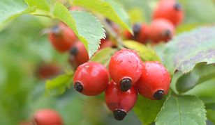Owoce dzikiej róży warto najpierw przemrozić kilka dni w zamrażarce