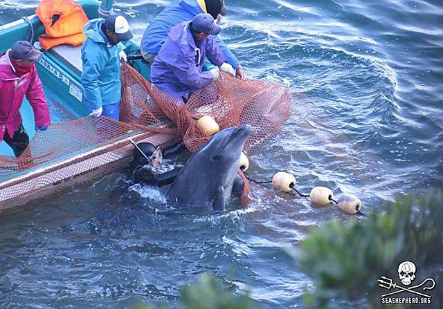 Rzeź delfinów. Ich rytuał budzi kontrowersje - zdjęcia