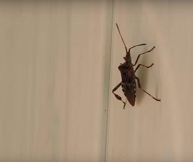 Wtyk amerykański. Śmierdzący owad szuka schronienia w domach