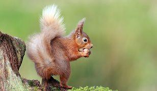 Nasza wiewiórka może się obawiać