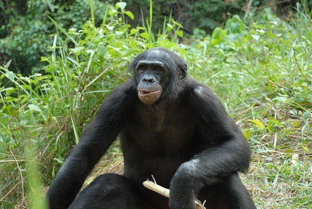 Na wolności szympans karłowaty, bonobo zamieszkuje dorzecze rzeki Kongo w Afryce Centralnej