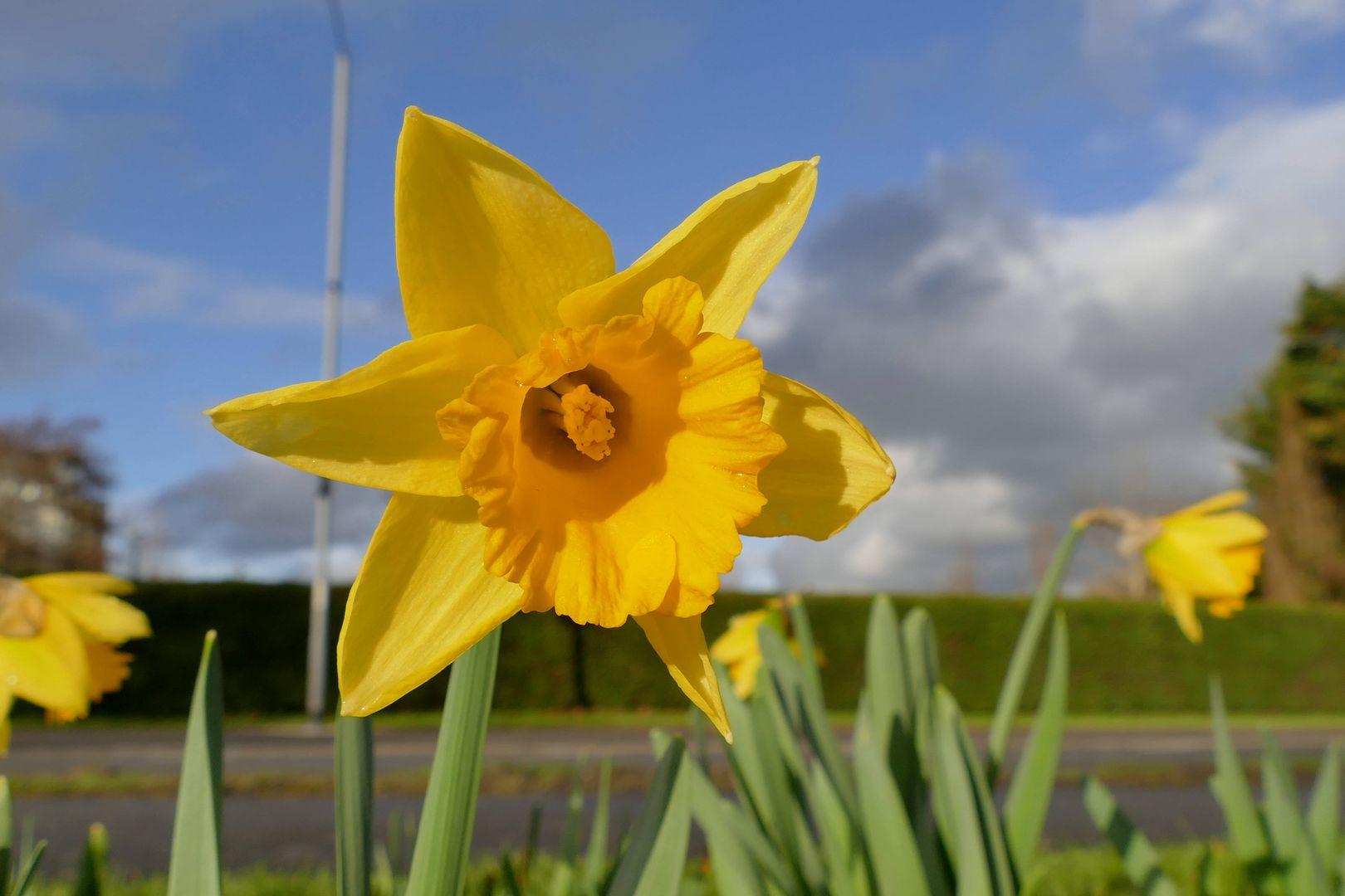 Żonkil - piękny kwiatek, który stał się symbolem pamięci
