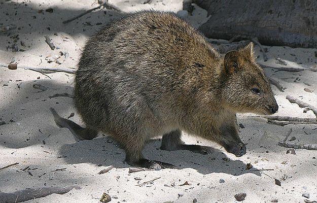 Quokka australijska z rodziny kangurowatych