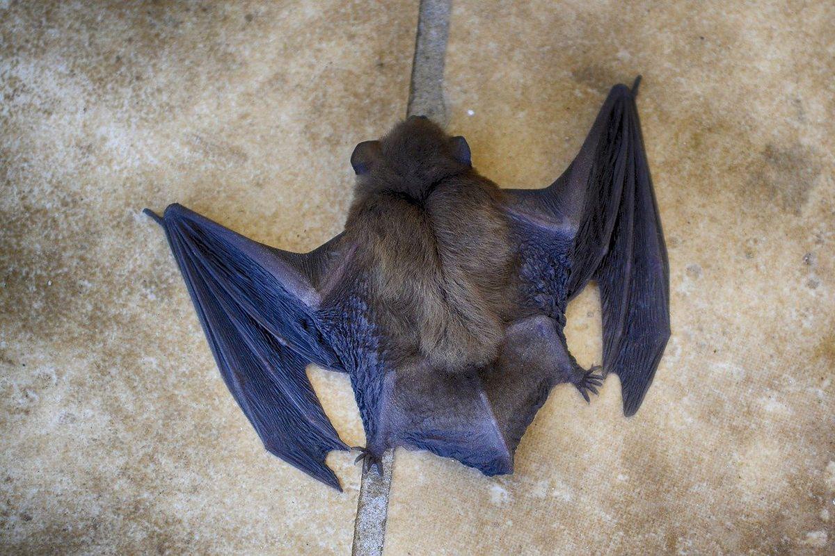 Nowe koronawirusy wśród nietoperzy