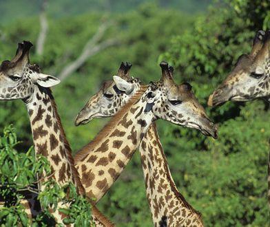 Stado żyraf w Tanzanii / fot. Wolfgang Kaehler