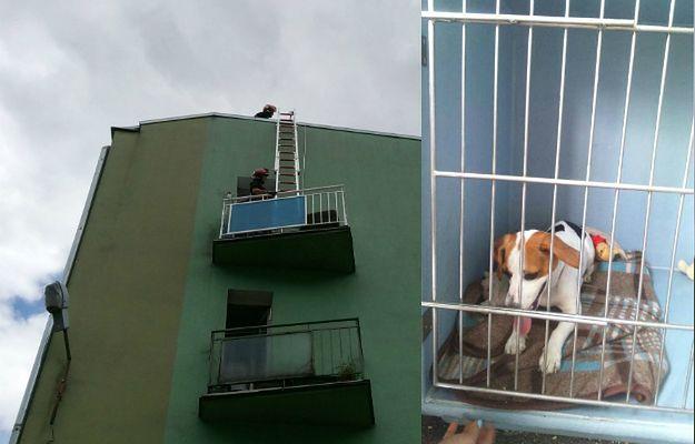 Suczka pozostawiona sama sobie oszczeniła się na balkonie. Zginęły wszystkie szczenięta