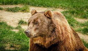 Niedźwiedź brunatny w mini zoo Niedźwiedzie Jamy